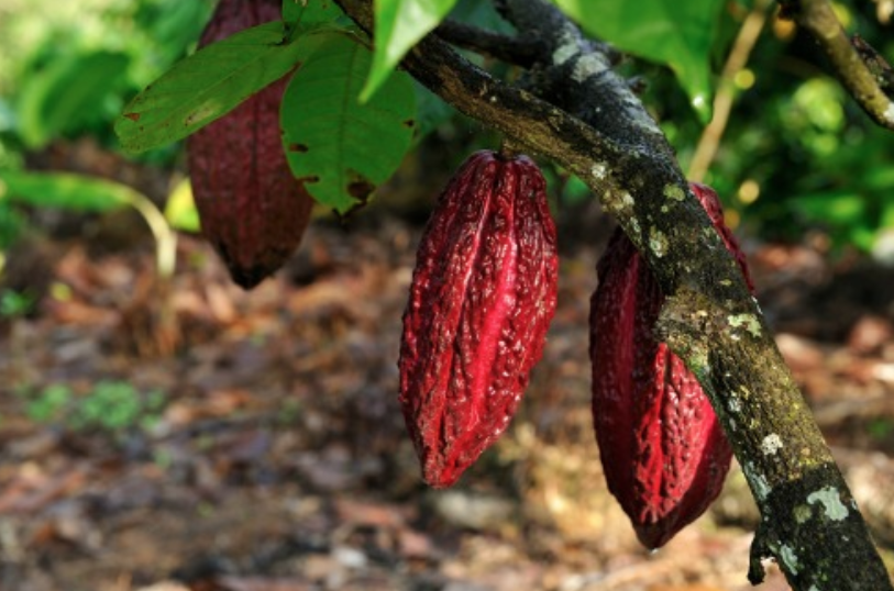 From the humble Cacao Bean to Raw Nibbles